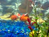 New fishies tank!  My orandas again