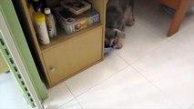 Useful tricks performed by Whisky the mini schnauzer - Amazing Funny Dog Tricks