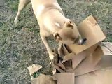 Mojoe THE PIT BULL  fights a mean ol box