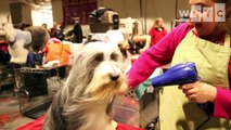 Westminster Kennel Club Dog Show: Behind-the-Scenes