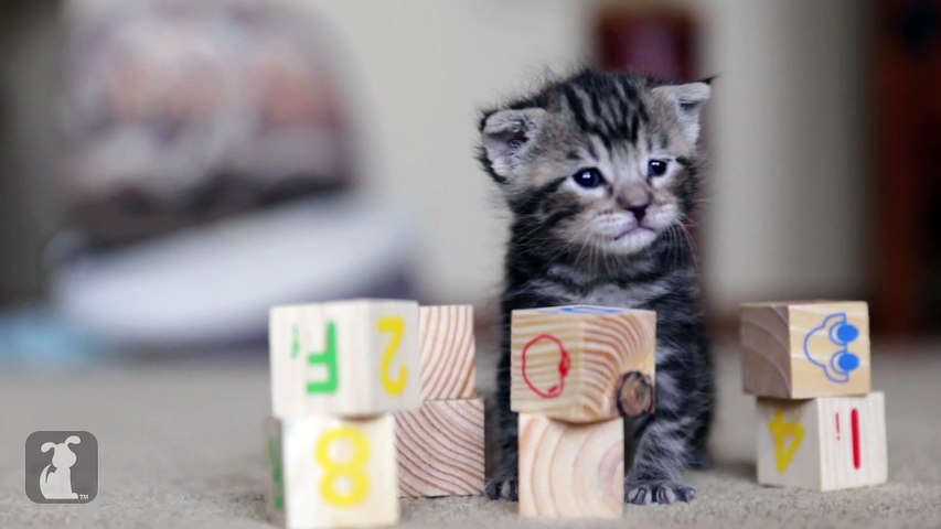 Cutest Rescue Kitten Learns his ABCs with Baby Blocks