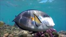 Red Sea Egypt Snorkelling with Fish 'Swim Like an Egyptian' Sharm El Sheikh