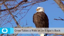 Crow Takes a Ride on an Eagle's Back