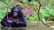 The Animals Voice Presents: Chimpanzees & Bonobos