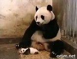 Cute Panda Sneezing - A Baby Panda Sneezing