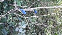 Gralha Azul na Lagoa da Conceição - Florianópolis - SC 2
