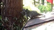 Maman raton laveur montre à son petit comment grimper dans un arbre
