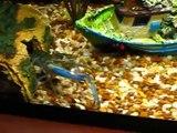 Crayfish red claw Crayfish finds worm crayfish.avi