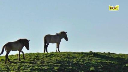 Parage et soins chez les Chevaux de Przewalski