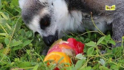 Les Makis apprécient leurs glaçons aux fruits !