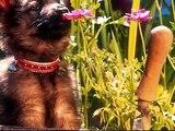 photos de chiots, caniche husky labrador yorkshire chihuahua bichon fox terrier etc ....