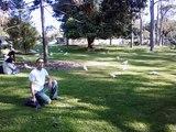 Wild Cockatoos in Sydney Australia