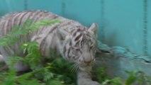 Na Lituânia...um tigre, dois tigres, CINCO bebês tigres!