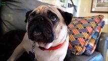 Vidéo du drôles chien qui sont coupable