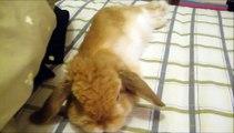Miniature lop eared bunny - QQ Summer - Sleeping on bed