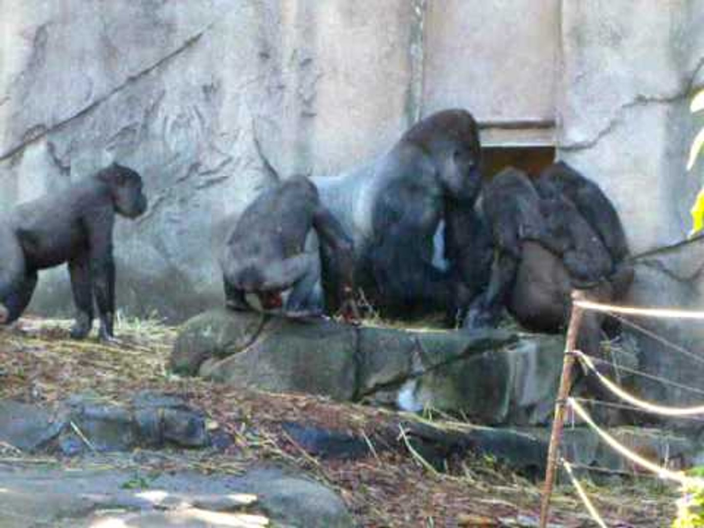 Gorilla's Fight with Chimps | Fight in Zoo