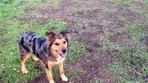 Bodhi the Wonder Dog! Australian Shepherd Plays Frisbee