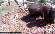 SW Florida Eagles 'Possible Fish Line Attached To Fish In Nest' 1:46 PM, 3-6-2013