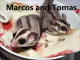 Marcos and Tomas - Sweet Classic Colored Sugar Glider Cage Mates!