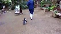Un pingouin qui suit un employé de zoo comme son ombre