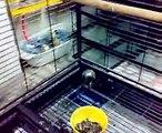 African Grey Parrot Psittacus Ertihacus jacko parrot bird