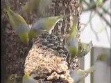 Native Birds (Silvereye) New Zealand