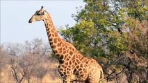 2013 South Africa Safari - Bull Giraffe with Grant audio