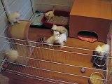 Британские котята, 1,5 месяца