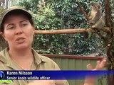 Koalas y serpientes también sufren las inundaciones en Australia