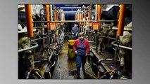 Eleveur laitier un emploi dévorant