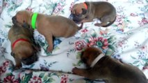 BLUE NOSE PIT BULL PUPPIES FOR SALE 2014