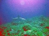 Requin marteau - Plongée Sha'ab Maksour plateau Nord - Le 18/06/2015 - Croisière Mer Rouge Saint-Johns (Diving attitude)