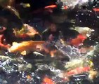 Koi Carp In The Garden-Mis peces Koi