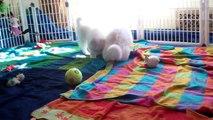 "SAMOYED PUPPIES: Day 43 (""Puppies Gone Wild!"")"