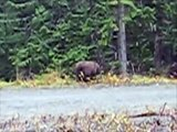 Bella Coola, BC, Canada, Nice Grizzly Bear