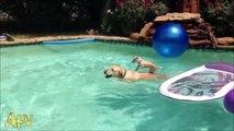 Une maman labrador aide son petit à traverser la piscine