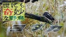 【世にも奇妙な野鳥】「ヨタカ」 Extremely strange bird「Jungle Nightjar」