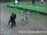 Shararti Monkey