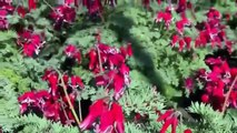 Dicentra 'Burning Hearts' PPAF