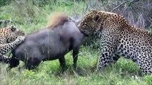 National Geographic Documentary Wild Animals attack National Geographic Animals