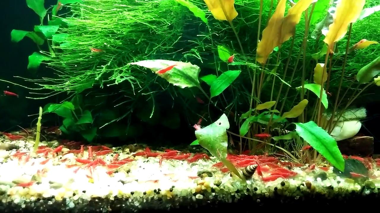 20g shrimp tank
