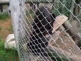 Black Leopards Gone Wild At D.E.W. Animal Kingdom Mt.Vernon Maine