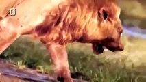 Documental de Leones Peleando Animales de Africa   Documentales de Animales Salvajes