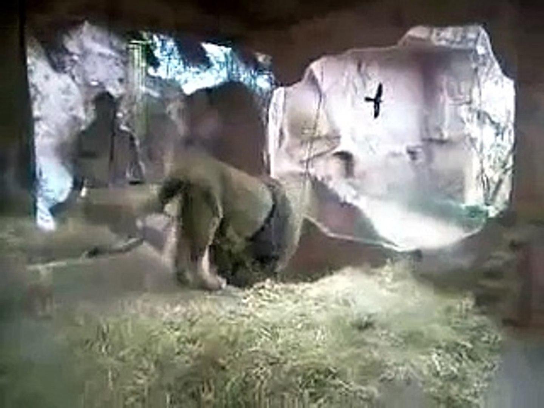 Kurdish Shepherd Dog Kangal VS.African Lion Dog Fight (New)