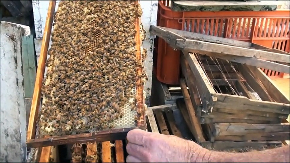 BEEKEEPING: Tiny SWARM of BEES….Just Turned Up.