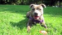 Sadie the Staffy - basic training and tricks - Staffordshire Bull Terrier