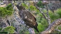 AEF-NEFL Eagles  12-19-14  Long Visit From Young Juvenile Eagle