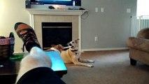 Un chien très futé piège un autre chien. On lui fait pas à l'envers à lui