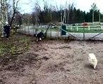 Pomeranian,amstaffi ja shetlanninlammaskoira