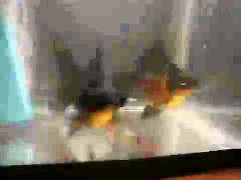 Home Aquaponics- Black Moor Goldfish Short